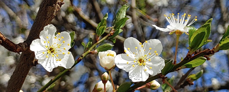 pursic-pomladna